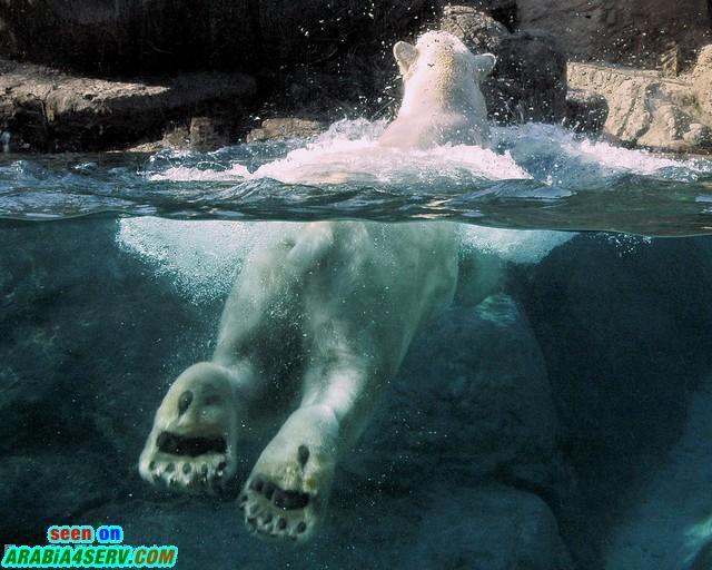 صور الدب القطبي - صور نادرة روعة للدب القطبي