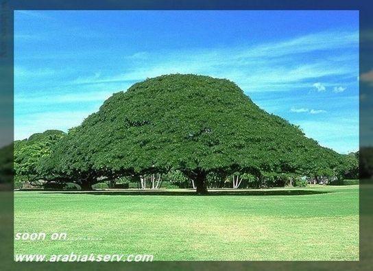 اكبر و اقدم اشجار العالم