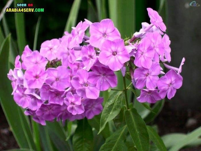 صور زهرة البنفسج