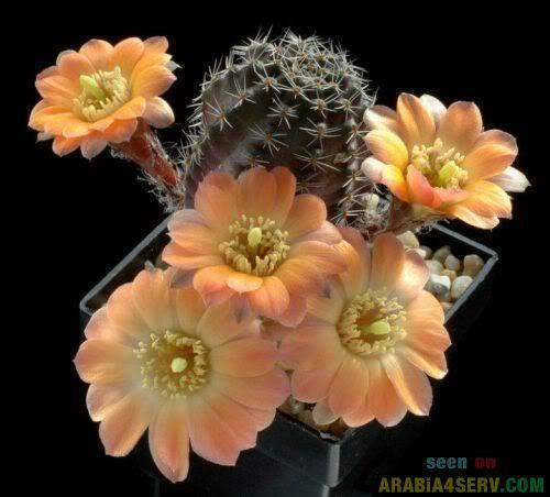اجمل  صور ورود الصبار صور نبات الصبار