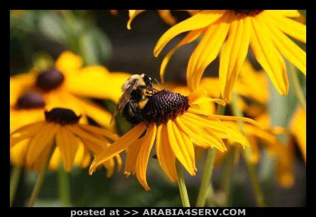 صور النحل