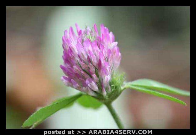 صور زهرة الهندباء