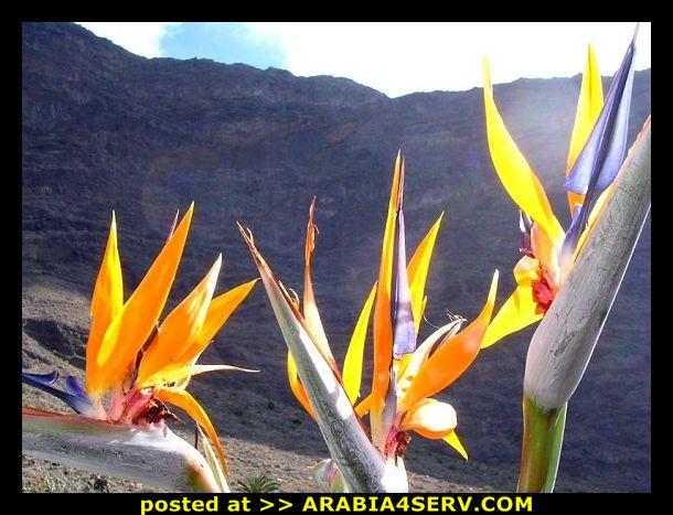 صور زهور طائر الجنة