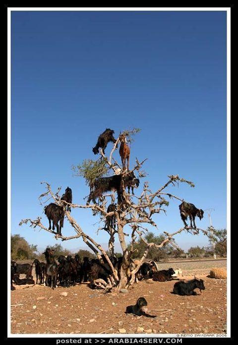 صور الماعز على الأشجار