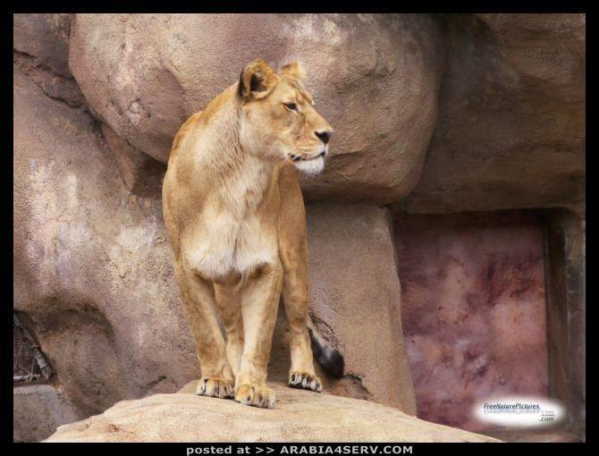 صور الاسود الافريقية