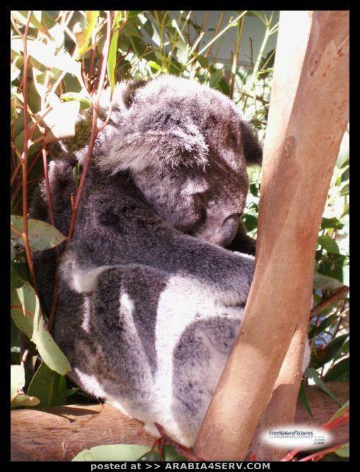 صور حيوان الكوالا