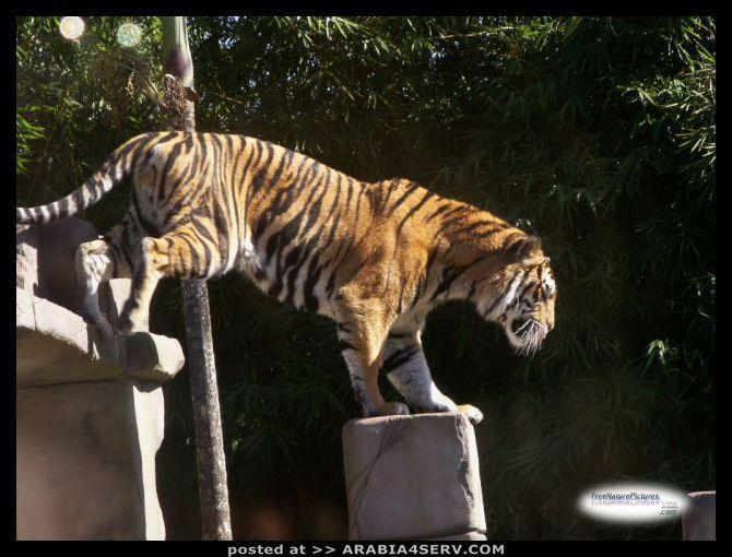 صور نمر البنغال
