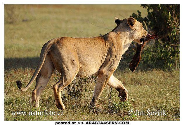 صور الأسد الأفريقي