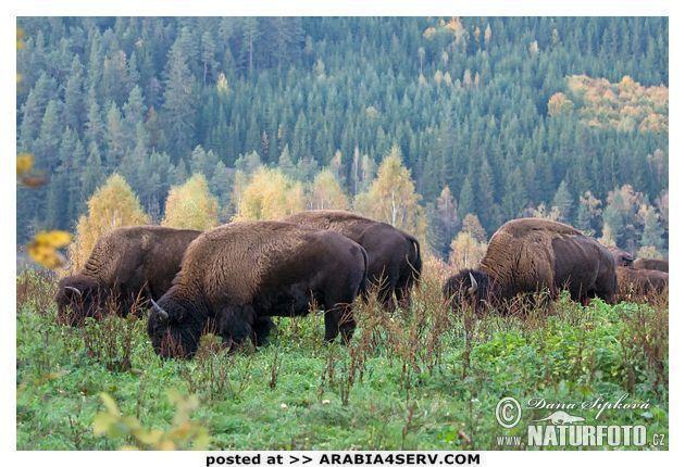 صور الثور الامريكى
