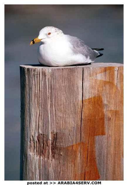 صور طيور النورس