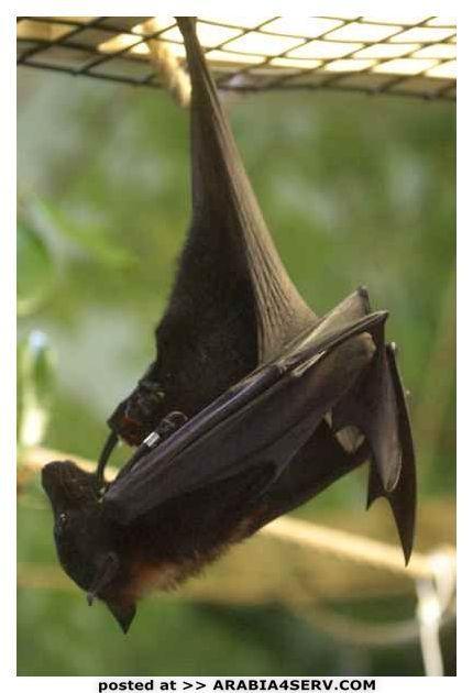 صور الخفاش