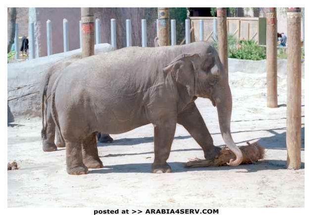 صور الفيل فى حديقة الحيوان