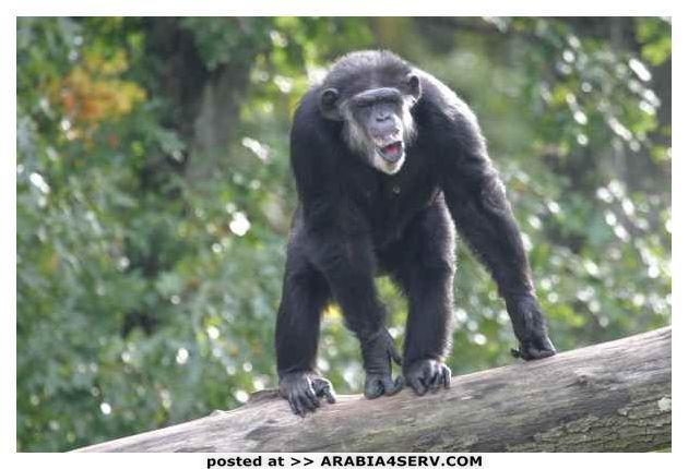 صور الشمبانزي