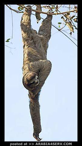 صور حيوان الكسلان