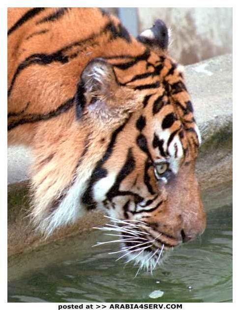 صور النمر الاحمر المخطط