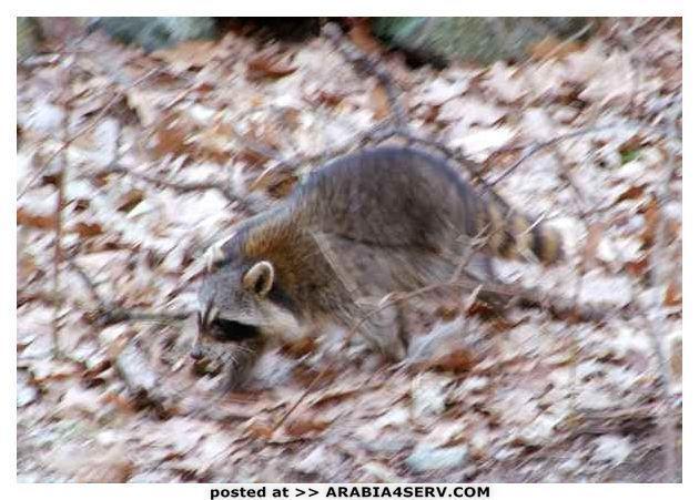 اجمل صور حيوان الراكون