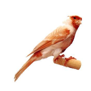 صور طائر الكنارى