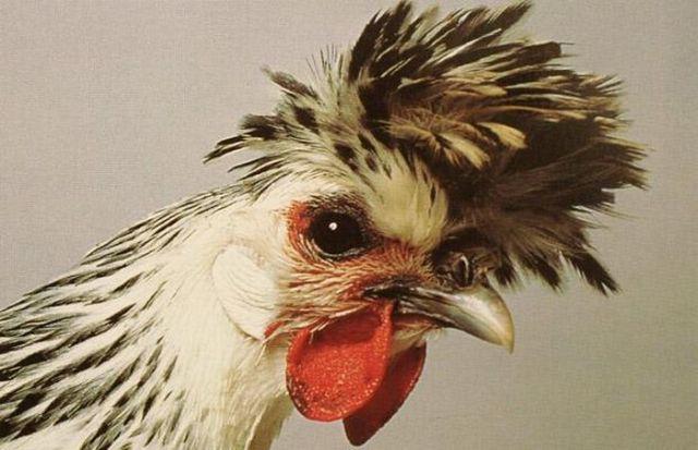 صور دجاج غريب جدا جميل طريف رائع للتحميل