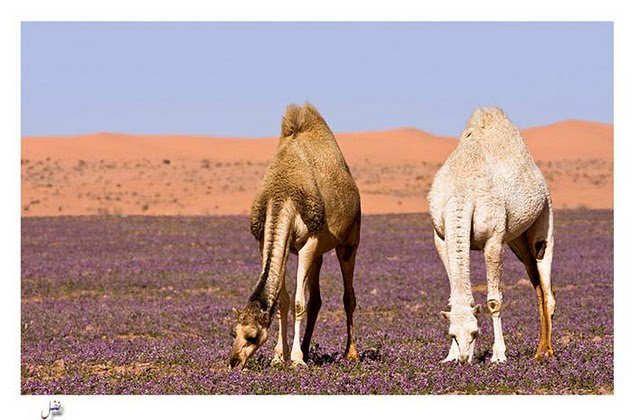 صور الربيع فى الصحراء