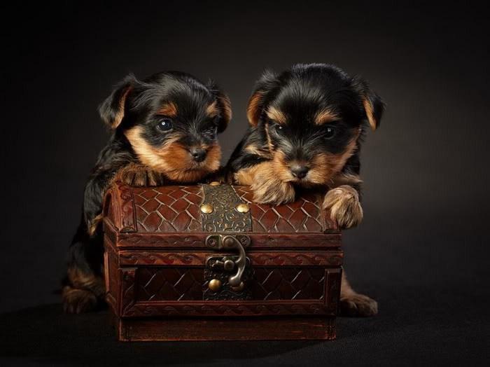صور كلاب صغيرة