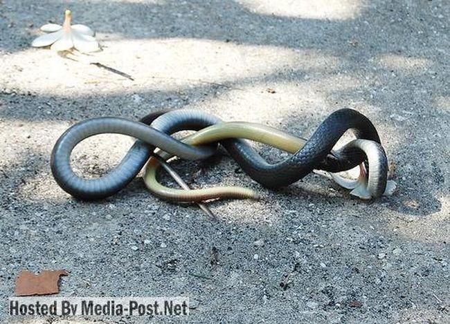 صراع - عراك - اشتباك الثعابين