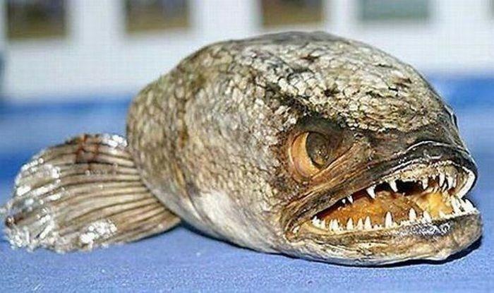 صور اسماك مخيفة مرعبة