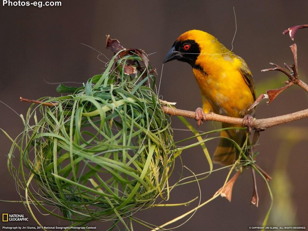 اجمل اروع احدث اجدد خلفيات طيور ناشيونال جيوغرافيك